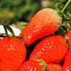 イチゴ狩りでのおいしいイチゴの見分け方!食べ方や練乳以外の持ち物も!